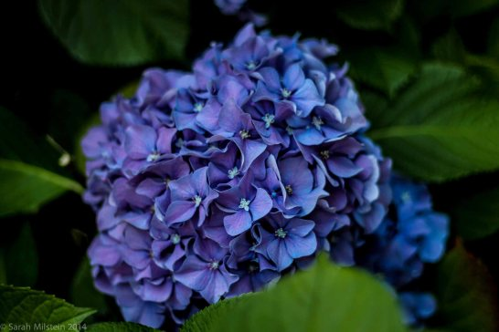 Hydrangea at University of Washington