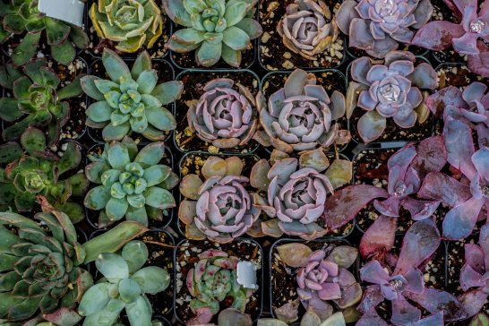 Potted succulents to plant