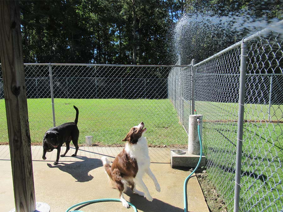 Dogs run to get under shower of water from hose at Smith Farms Kennel