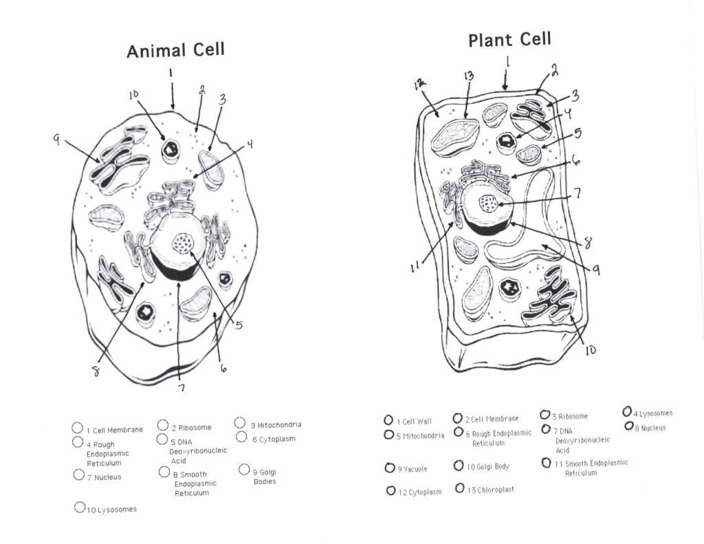30 Animal Cells Worksheet Answers