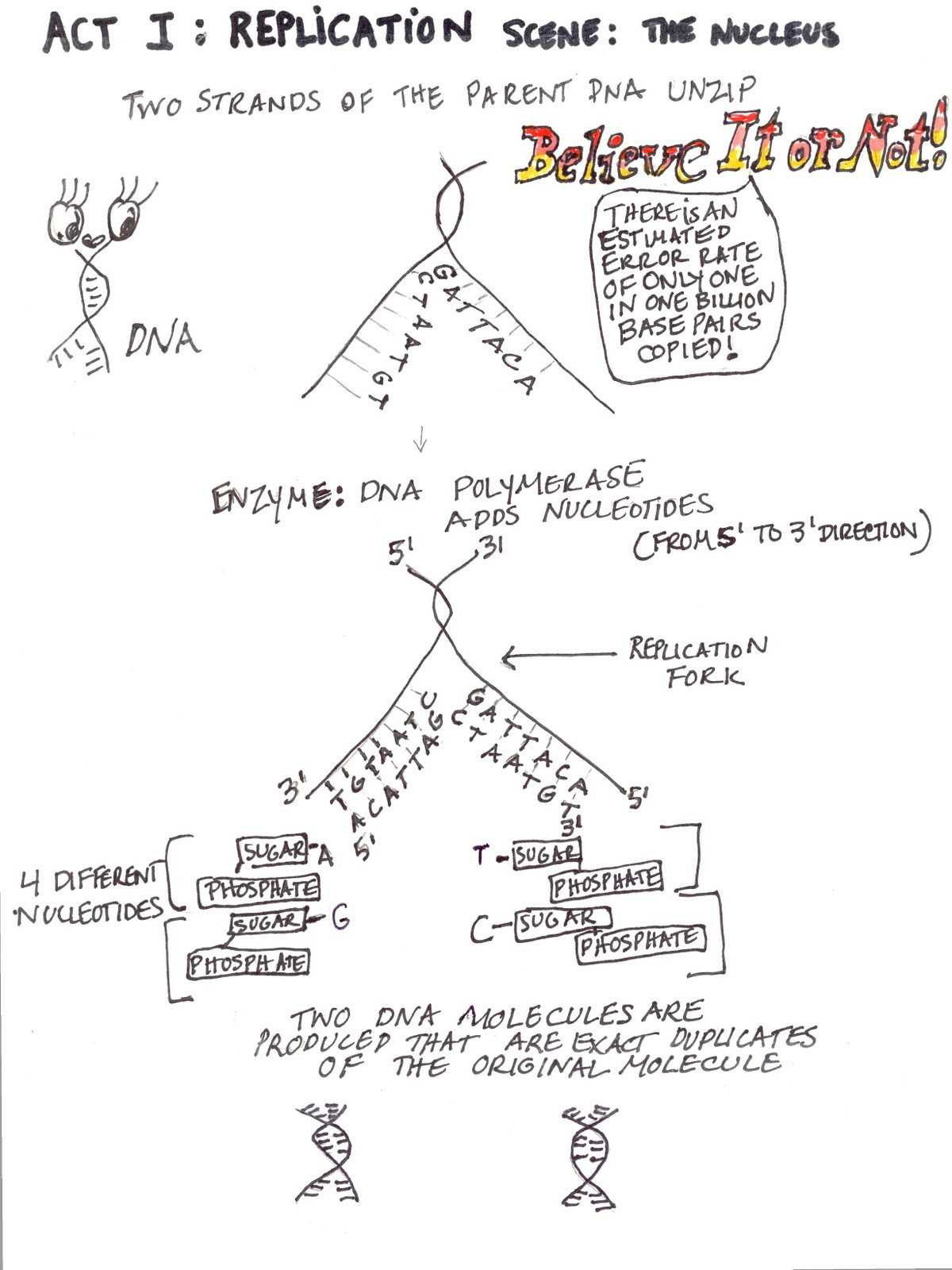 30 Dna And Replication Worksheet Answers