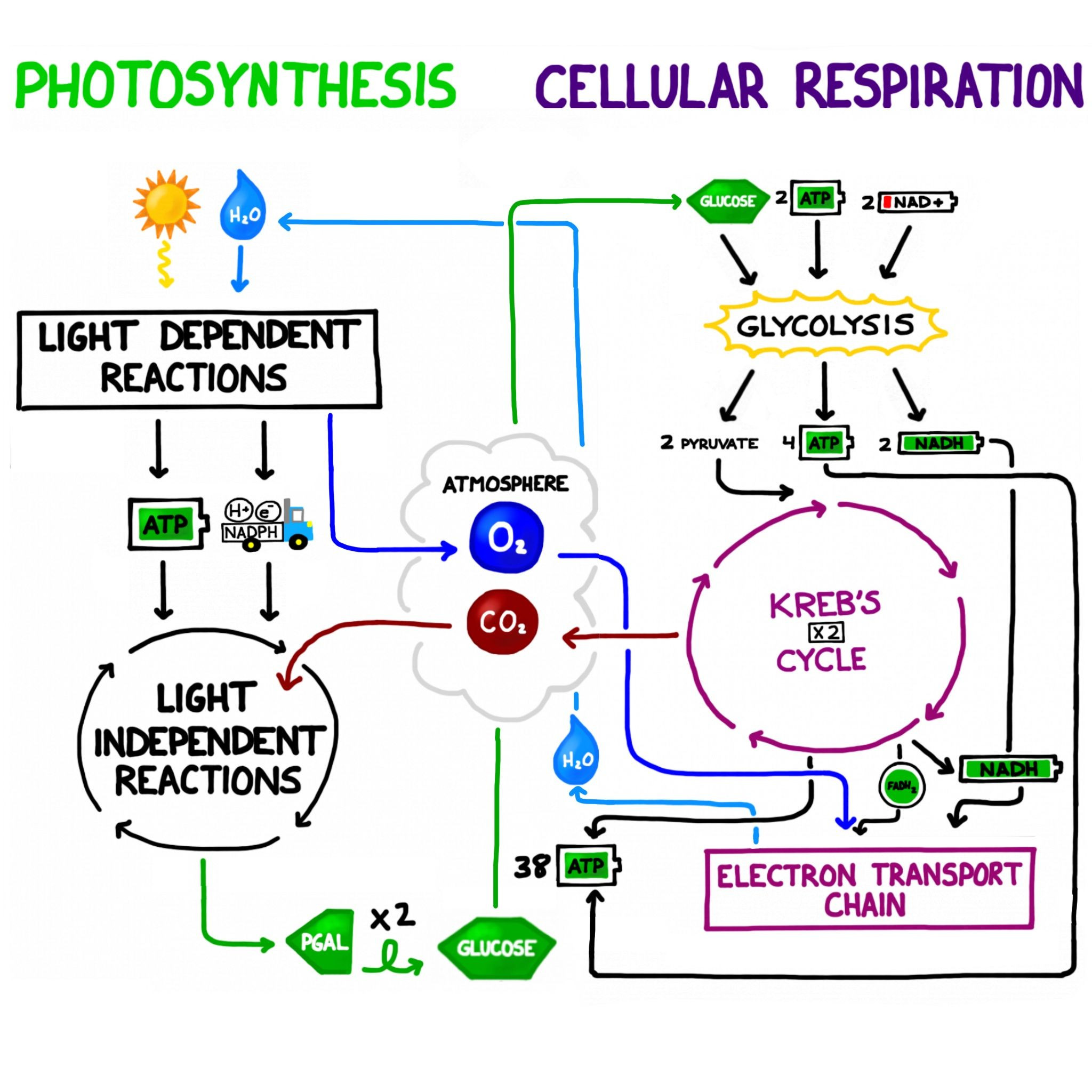 30 Photosynthesis Diagrams Worksheet Answers