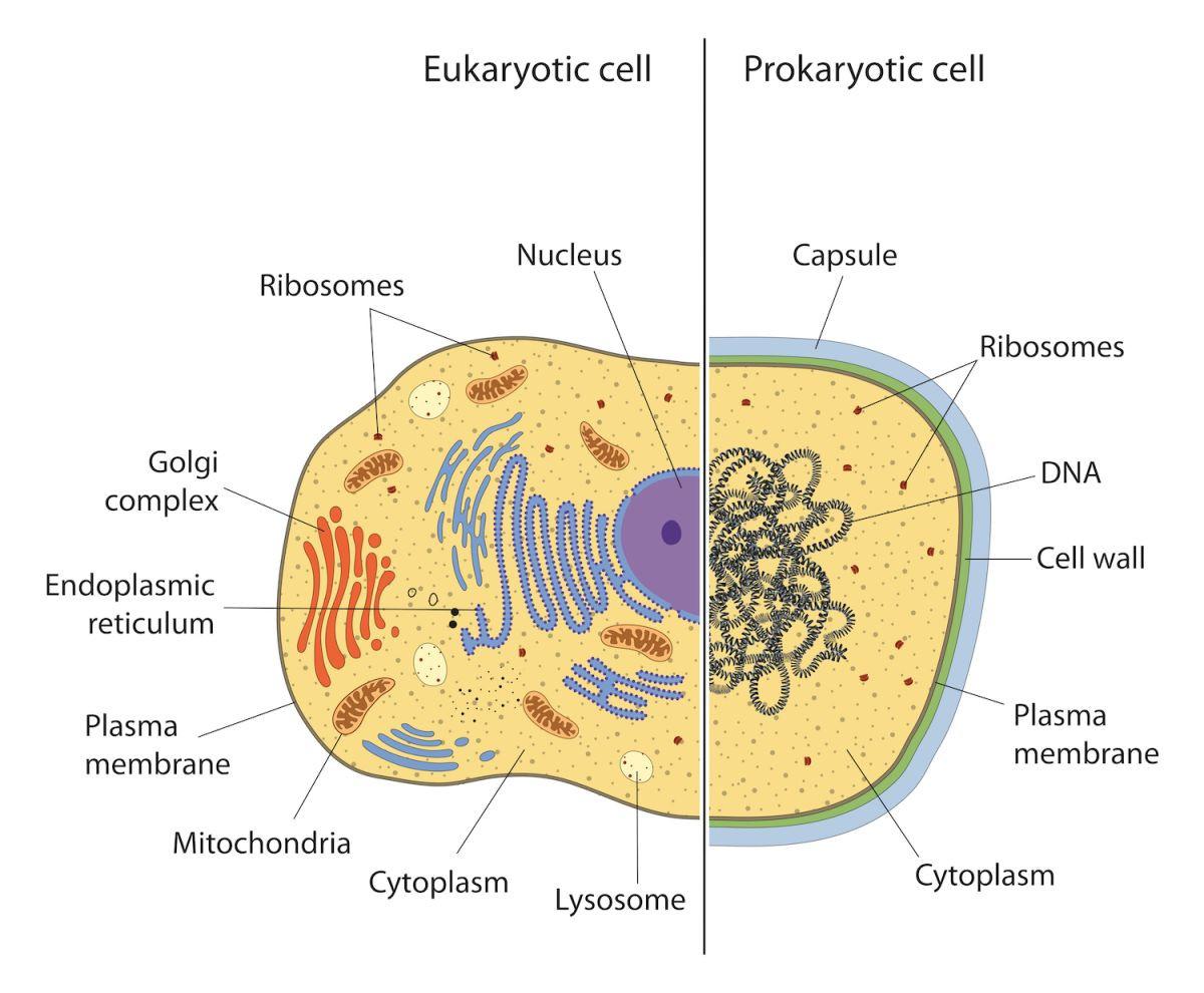 Prokaryote Vs Eukaryote Coloring Worksheet Eukaryotic