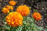 Marigolds at NMAI