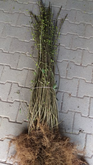 Barrods ligusterplanter