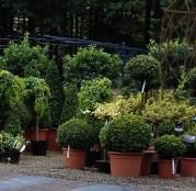 Forskellige stedsegrønne planter i potte