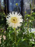 Georgine i blomst