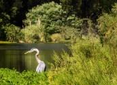 Great Blue Heron, Mallard Lake, Golden Gate Park
