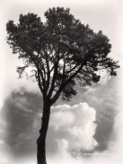 Tree with fog and clouds, San Francisco Botanical Garden