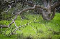 California buckeye tree, SF Botanical Garden