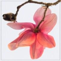 03_magnolias_SMKane