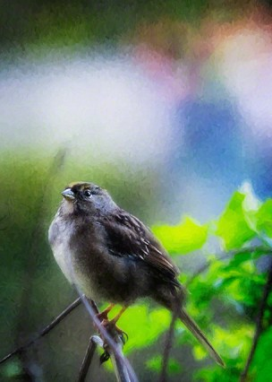 Sparrow enjoys the late light at Stow Lake, in Golden Gate Park.