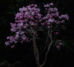 Pink Tulip Magnolias, dusk