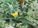 I'd never seen pineapple growing