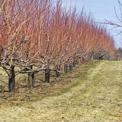 Prinși în flagrant în timp ce tăiau ilegal pomi fructiferi dintr-o livadă