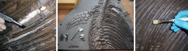 Beschädigte Rippen werden entfernt (links) und nach Reinigung wieder eingesetzt (Mitte), bevor das gesamte Fossil imprägniert wird (rechts). Foto: