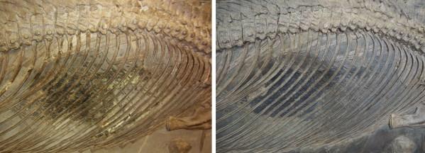Der Rumpf von Stenopterygius uniter vor (links) und nach (rechts) der Restaurierung. Foto:
