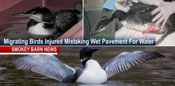 Migrating Loons Crash Landing On Wet Pavement (How You Can Help)