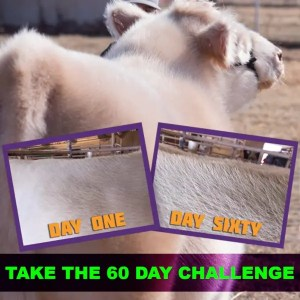 prohair-white-fluffy-steer-60-day-challenge-for-store200