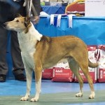 Sable & white Smooth Collie