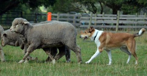Smooth Collie herding sheep