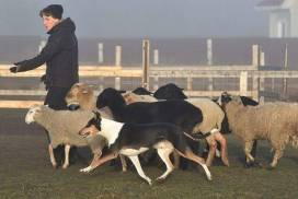A Smooth Collie herding
