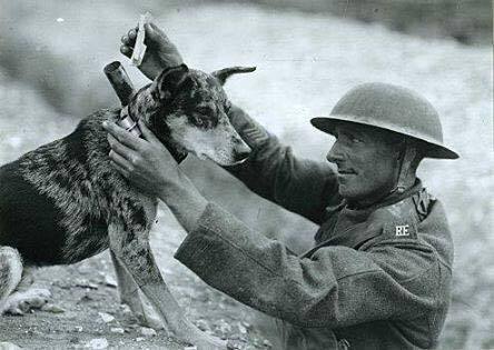 Smooth Collie messenger dog during WWI