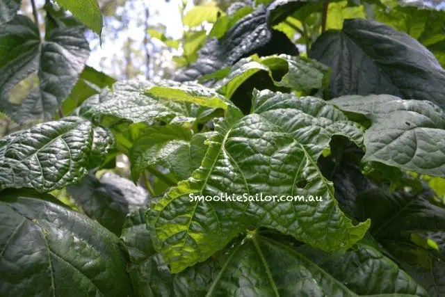 Aibika-queensland-greens-hibiscus-manihot-bele-high-protein-plant