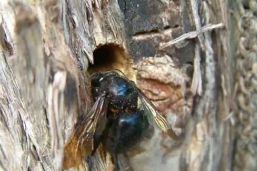 Carpenter Bee Wood