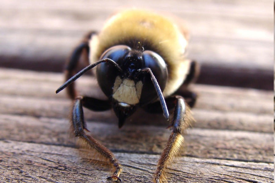 Carpenter Bee Everything you need to know about