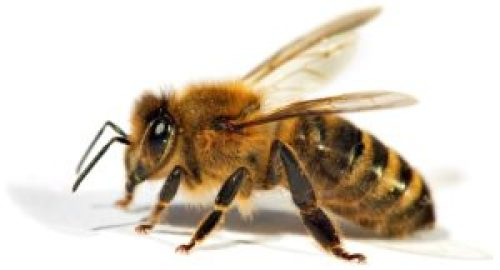 honey bee image