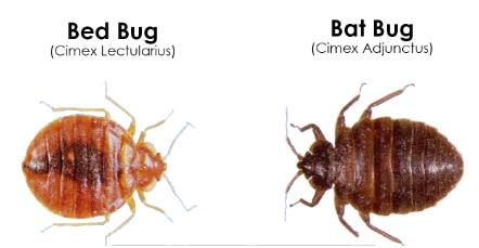 bat bugs image