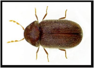 carpet beetle image