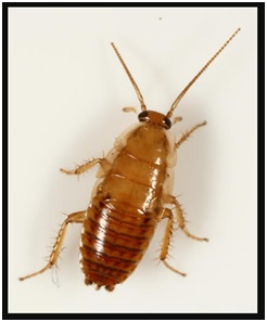 cockroach nymph image