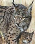 【画像あり】かっこよすぎるネコ「スペインオオヤマネコ」とは?50年以内に絶滅の可能性!?