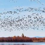 Flock of birds migrating north.