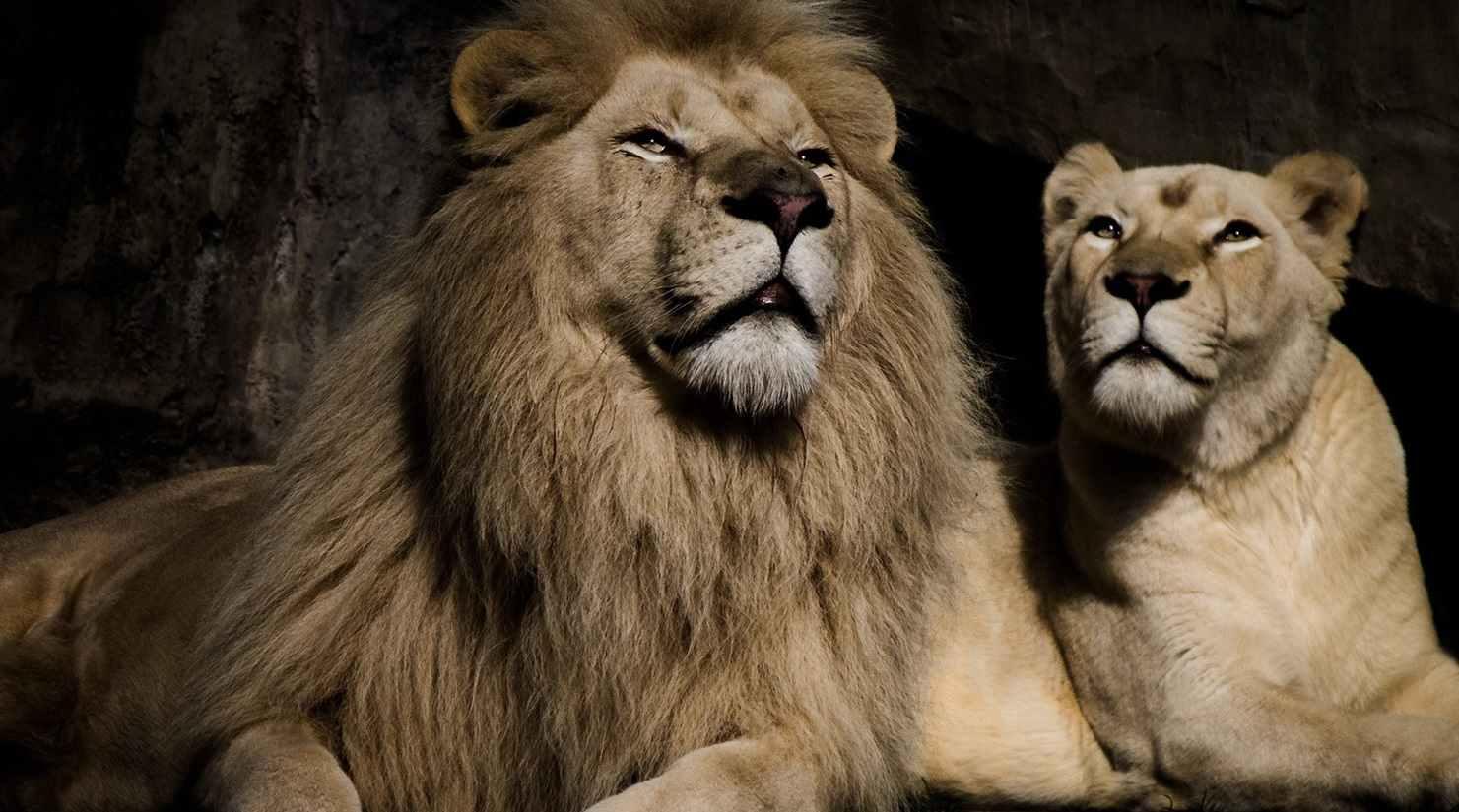 Интересные факты по случаю Всемирного дня льва