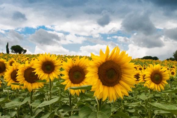 sn_sunflower_Skitter Photo