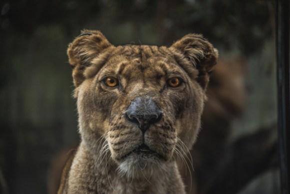sn_lion_Samuel Scrimshaw