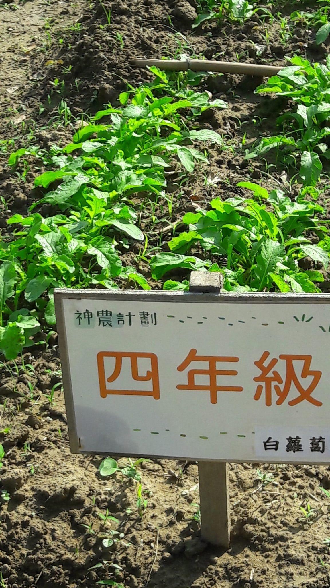 105.11.8四甲的白蘿蔔生長情形