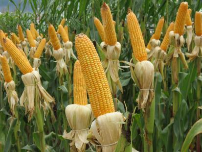 Com produção de milho menor, safra de grãos tem queda de 10,3%