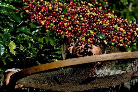 VBP das lavouras de café deve chegar a R$ 20 bilhões neste ano