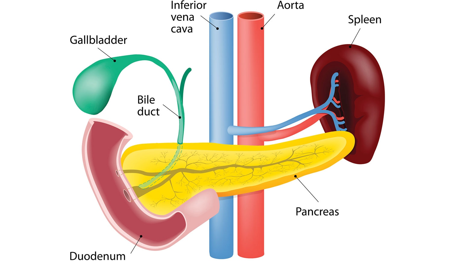 hight resolution of digestive system anatomy of the pancreas liver and the biliary tree