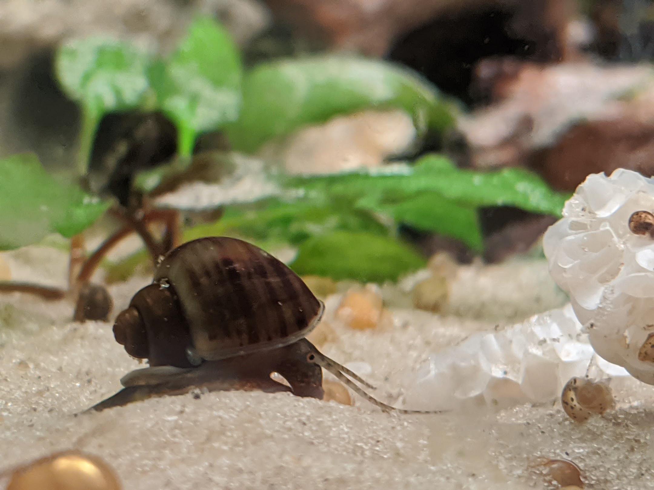 Mystery Snails- Walnut Color