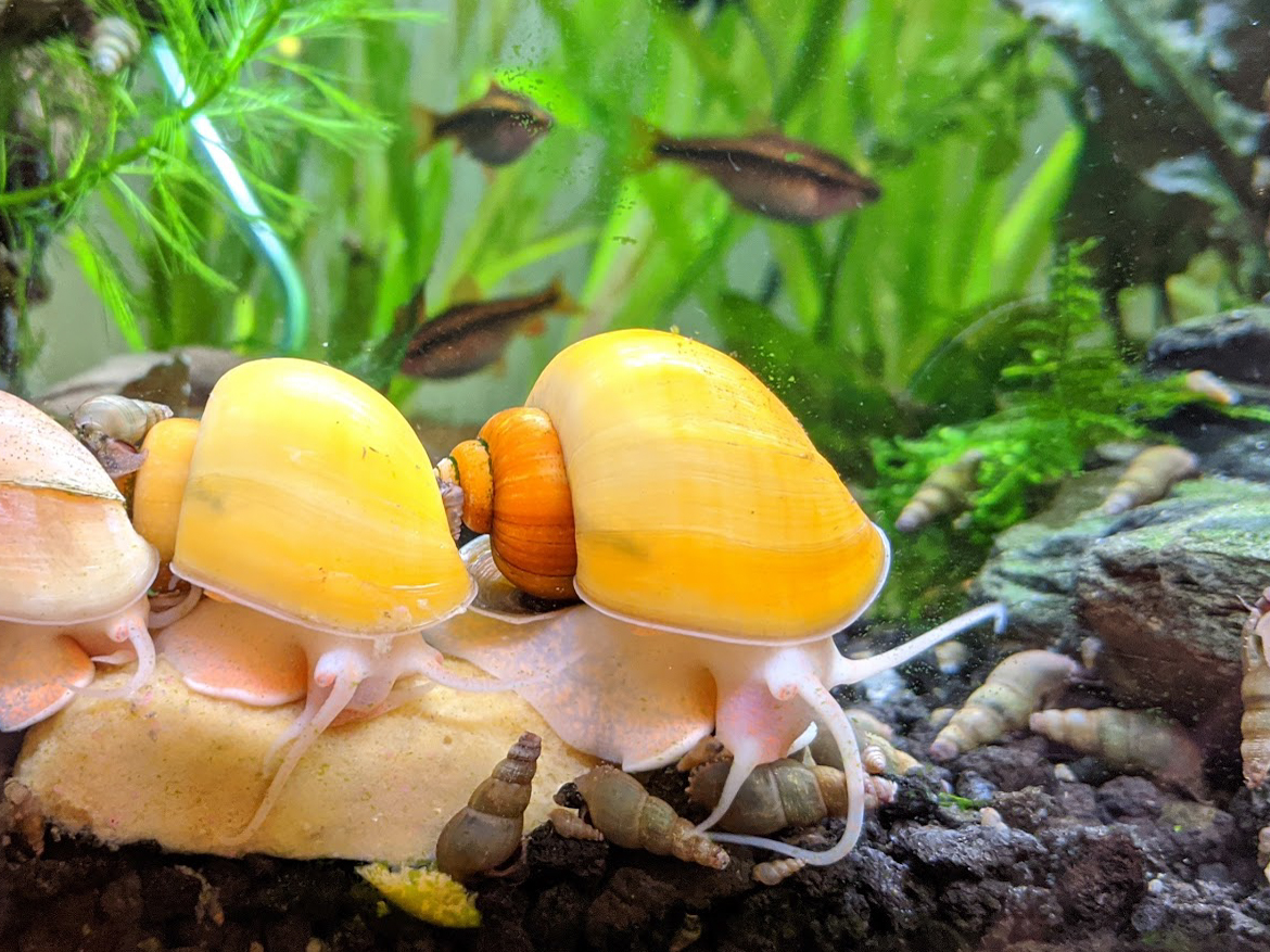 Mystery Snails- Yellow