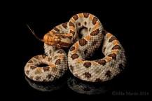 Carolina Pygmy Rattlesnake by Mike D. Martin