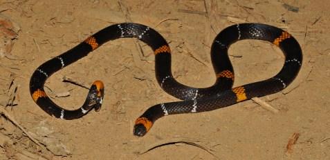 Rondo Coral Snake by Renato Gaiga