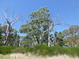Trees like these inspired Hans Heysen