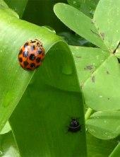 Ladybug and friend