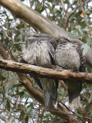 Tawny Frogmouths